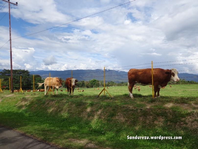 Sapi-sapi di pinggir jalan
