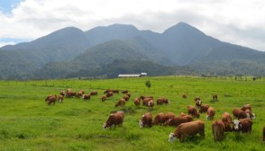 Sekawanan Sapi di padang rumput dengan latar Puncak Gunung Sago (Sumber: bptupadangmengatas.com)