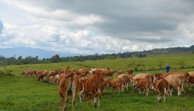 Kawanan sapi yang masuk ke area padang rumput (Sumber: bptupadangmengatas.com)